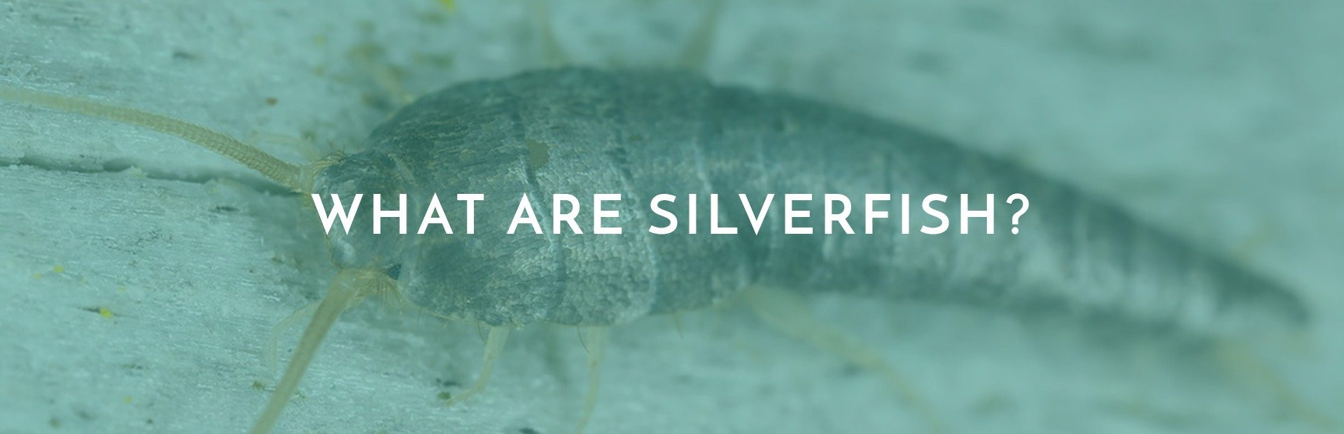 What Are Silverfish? Everything you need to know about them.