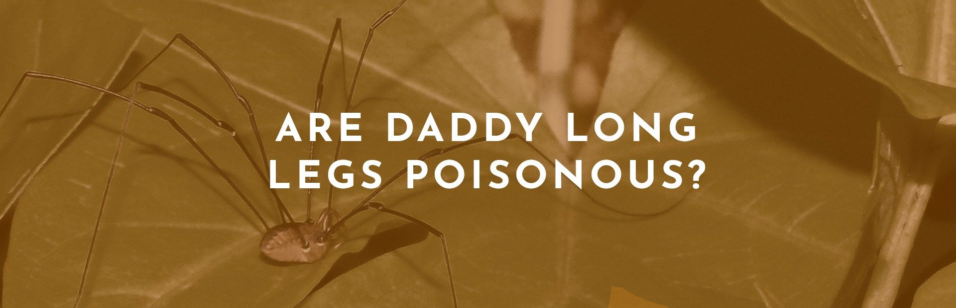 Are Daddy Long Legs Poisonous?